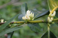 Canario Plant In Flower